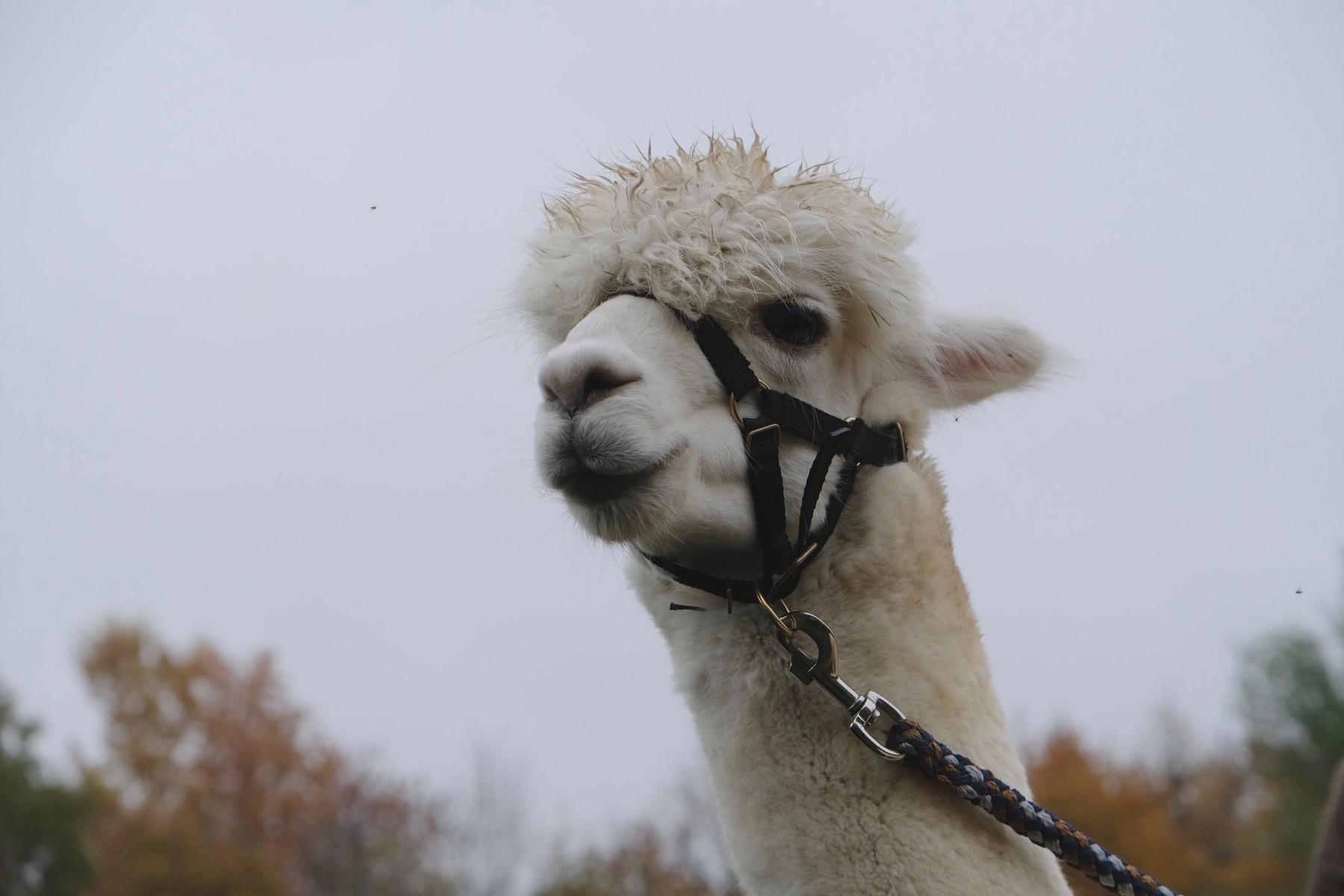 head of a white alpaca